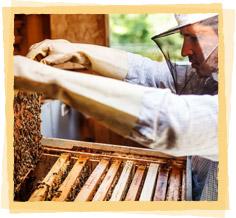 Beekeeper Harvesting Beeswax